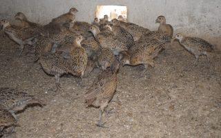 Granja de faisanes de caza Amo